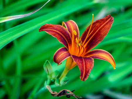 blooms red-purple Lily in the garden on a blurred natural background, macro, narrow focus zone