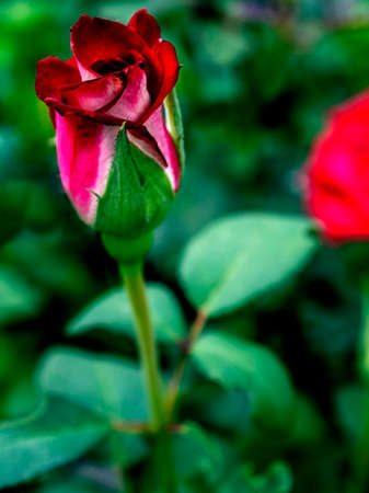 red rose Bud blooms in the garden against the background of a blurred natural landscape Фото со стока