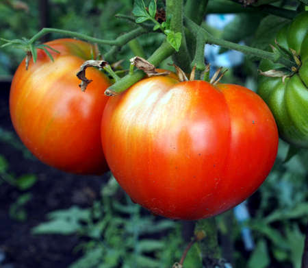 ripe tomatoes on a Bush in the garden, macro, one of the tomatoes has a bright spot, it's a sunburn Фото со стока