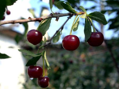 ripe juicy cherry on a branch in the garden, macro
