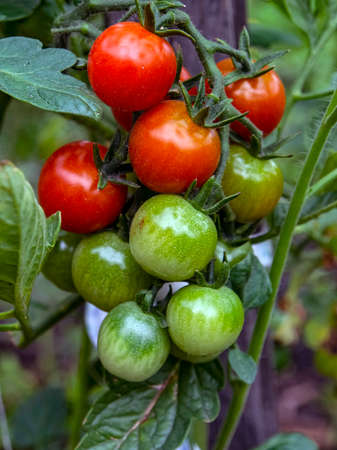 bright cherry tomatoes are maturing in the garden, red ones have already appeared