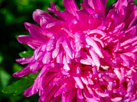 fresh pink Aster with drops after rain blooms in the garden on a blurred natural background