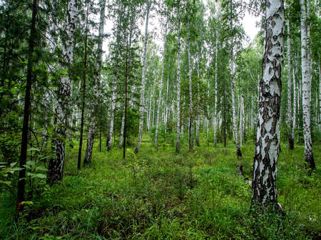birch and pine mixed forest in summer, southern Ural forest