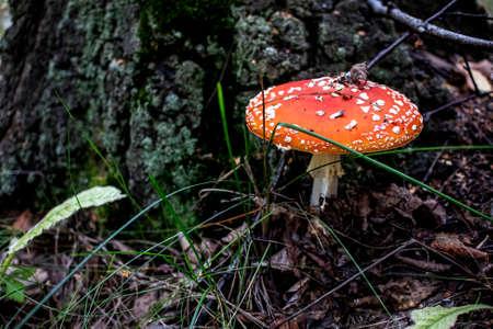 inedible mushroom with the Latin name Amanita muscaria is used in folk medicine