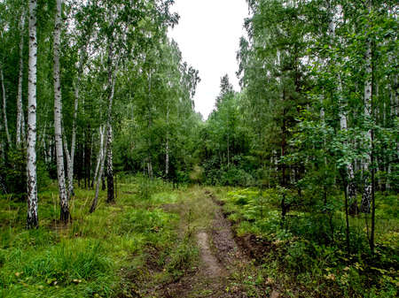 birch and pine mixed forest in summer, a path in the forest, southern Urals