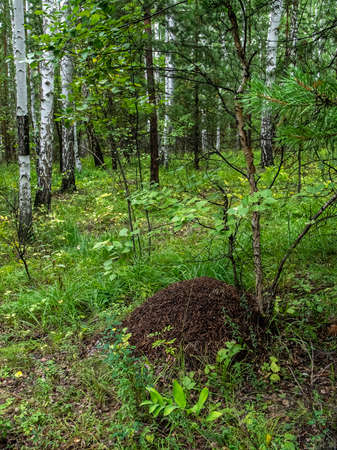 anthill in a mixed forest among trees, southern Urals 免版税图像