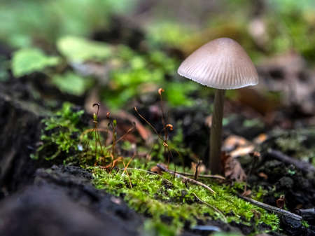 small inedible mushrooms like umbrellas in the forest in an old stump, macro, narrow focus area 免版税图像