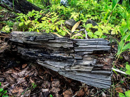 old cracked stump lying on the ground in a summer forest