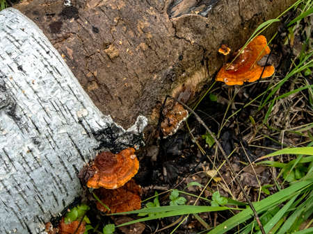 bright orange tinder mushroom, with the Latin name Polyporaceae on an old fallen tree