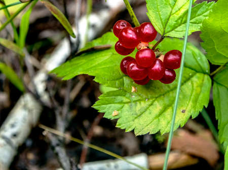 edible wild berries with the Latin name Rubus saxatilis growing in the forest among greenery