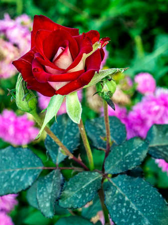 bright dark red rose in the garden on a blurred natural background