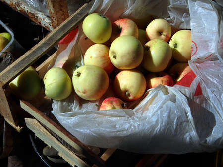 juicy fresh apples in a box on the ground in the garden