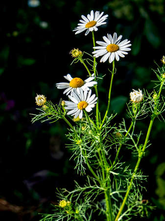 white daisies on a blurred green natural background