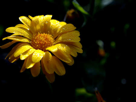 marigold flower with small drops of dew on the petals illuminated by the morning sun