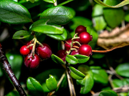 red edible forest berries with the Latin name Vaccinium vitis-idaea in the forest in a clearing, used in folk medicine, macro 免版税图像