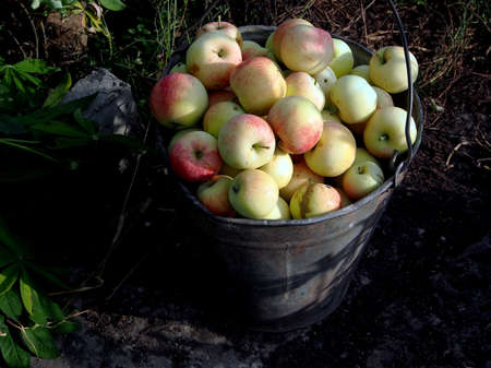 juicy fresh apples in a bucket on the ground in the garden