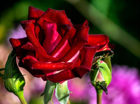 bright dark red rose in the garden with dew drops on the petals, macro, narrow focus area