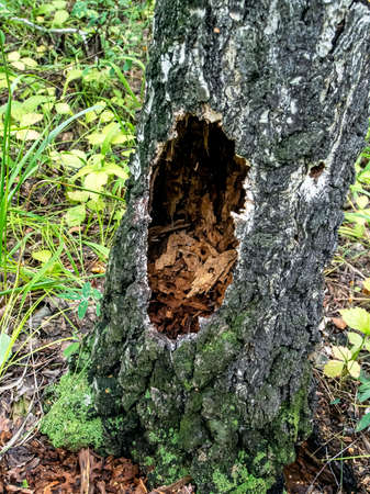 hollows and holes in an old tree in the forest, traces of woodpecker work on the tree
