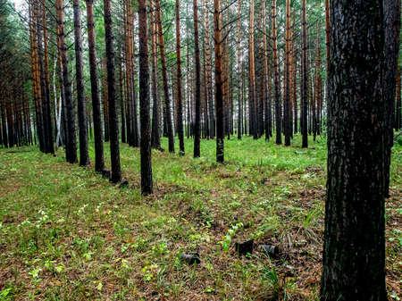 young pine forest in autumn, straight pines, southern Urals