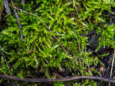green moss looks like a small tree with the Latin name Rhytidiadelphus triquetrus, macro 免版税图像