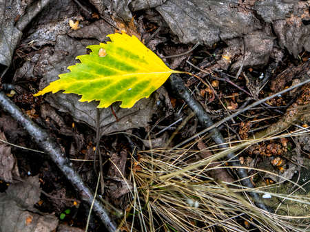 single yellow autumn leaf on the ground among the fallen leaves in the forest