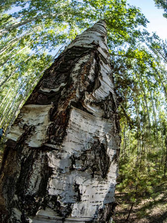 trunk of an old birch tree is viewed from the bottom up, the surface of the bark is clearly visible