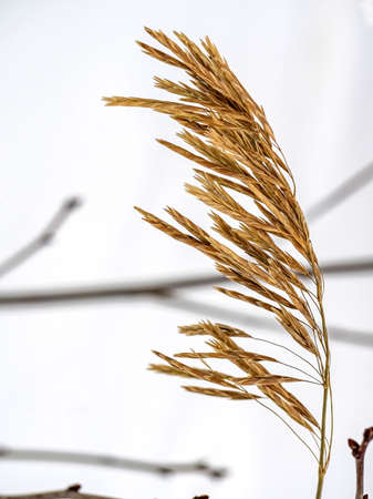 dry ear of a weed plant in winter, macro 免版税图像