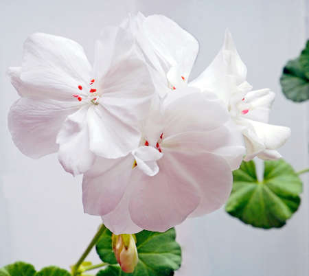 delicate white geranium flower growing in a pot on the windowsill, narrow focus area, macro
