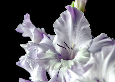 delicate light purple gladioli on a dark blurry background, narrow focus area