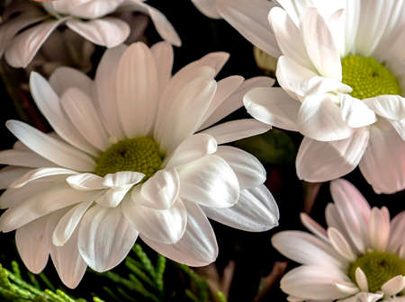 fresh, delicate white flowers with the Latin name Chrysanthemum, in a bouquet, macro