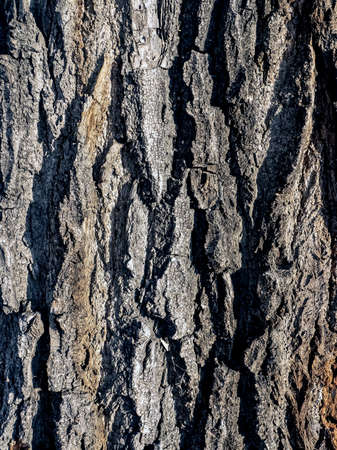 rough texture of the surface of the bark of an old poplar covered with cracks and fractures 免版税图像