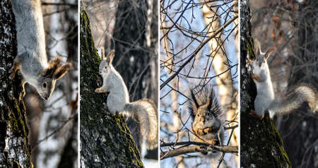 collage of photos of a squirrel in a winter forest on trees