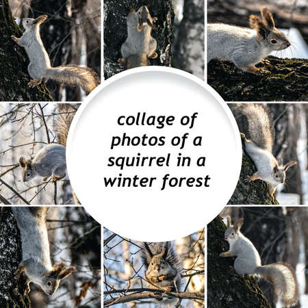 collage of photos of a squirrel in a winter forest on trees, copyspace 免版税图像