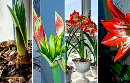 collage photo of red amaryllis blooming in a pot on the windowsill 免版税图像