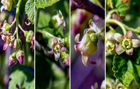 blooming black currant close-up on the background of leaves, the concept of spring time 免版税图像