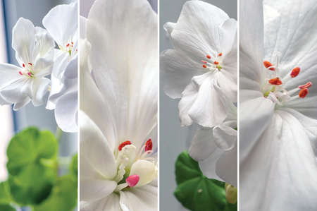 floral collage of white delicate geraniums 免版税图像