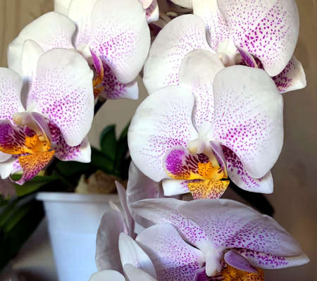 delicate light purple orchid blooms in a pot on the windowsill 免版税图像