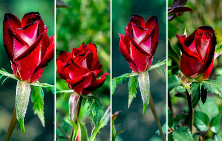 red rose Bud blooms in the garden against the background of a blurred natural landscape 免版税图像
