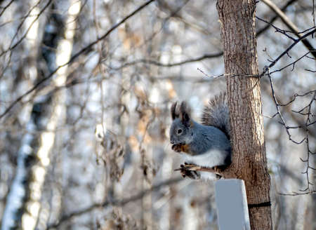gray squirrel in the winter forest sits on a tree and eats a nut, Southern Urals 免版税图像