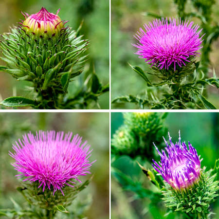beautiful bright Thistle flower, plants with the Latin name Carduus on a green natural background 免版税图像
