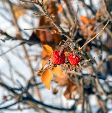 red rosehip fruits on the branches in the winter forest