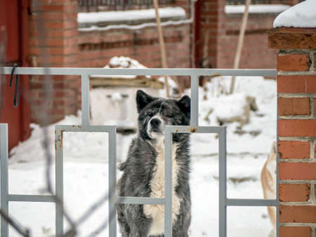 dog behind a fence in winter protects the house from strangers 免版税图像 - 164786232