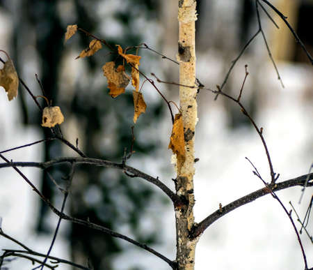 dry birch leaves on branches in the winter forest, cloudy day, southern Urals
