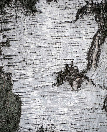 natural white background of birch bark in winter, the texture of the bark of a forest tree