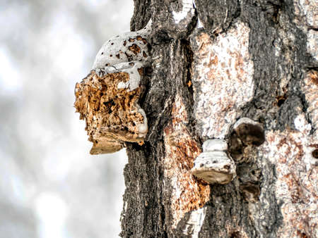 internal view of the tinder mushroom on a birch pecked by a woodpecker, the structure of the mushroom is visible, the passages are eaten by bark beetles 免版税图像