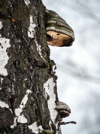 tinder mushroom with the Latin name Fomes fomentarius in the winter forest on the trunk of an old tree