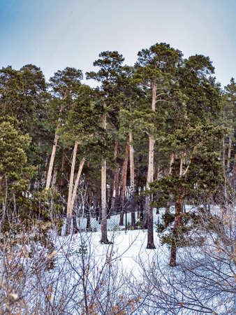 view of pine trees growing on the bank of the Miass river in winter, snow-covered banks, forest, countryside, Chelyabinsk, Kashtak, Southern Urals 免版税图像 - 164791760