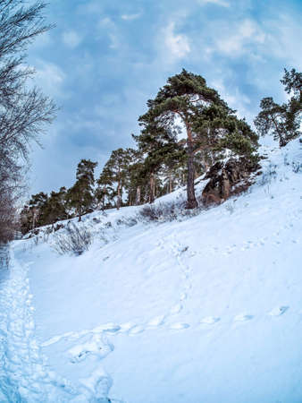 view of pine trees growing on the rocky and steep bank of the Miass river in winter, snow-covered banks, forest, countryside, Chelyabinsk, Kashtak, Southern Urals, fisheye lens
