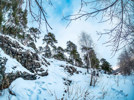view of pine trees growing on the rocky and steep bank of the Miass river in winter, snow-covered banks, forest, countryside, Chelyabinsk, Kashtak, Southern Urals 免版税图像