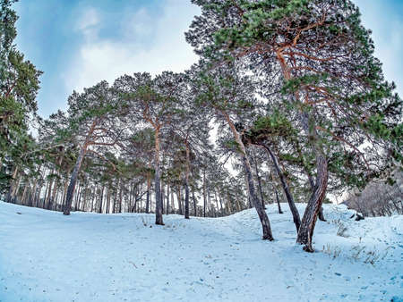 view of pine trees growing on the bank of the Miass river in winter, snow-covered banks, forest, countryside, Chelyabinsk, Kashtak, Southern Urals